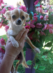 Chihuahua Puppy For Sale in TACOMA, WA, USA