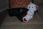 Shih Tzu Puppy For Sale in PENSACOLA, FL, USA