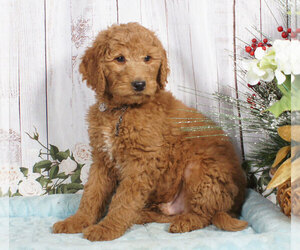 Goldendoodle Puppy for sale in PENNS CREEK, PA, USA