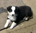 Australian Shepherd Puppy For Sale in ANTLERS PARK, MN, USA
