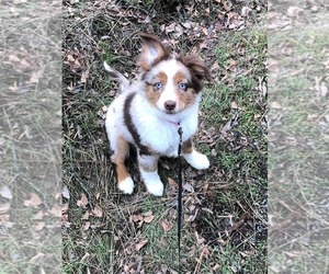 Miniature Australian Shepherd Puppy for sale in CORNELIUS, OR, USA