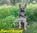 German Shepherd Dog Puppy For Sale in HEMET, CA