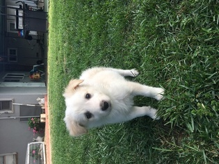 Border Collie Puppy For Sale in BAKERSFIELD, CA, USA