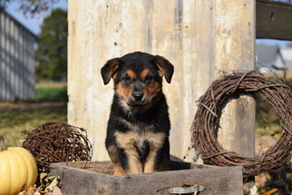 German Shepherd Dog-Rottweiler Mix Puppy For Sale in FREDERICKSBURG, OH, USA
