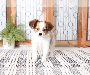 Papillon Puppy for sale in NAPLES, FL, USA
