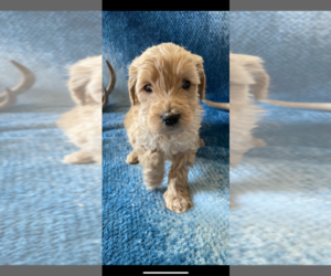 Goldendoodle Puppy for Sale in ROSEBURG, Oregon USA