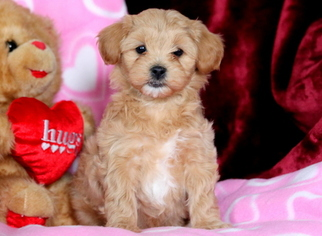 Morkiepoo Puppy for Sale ...