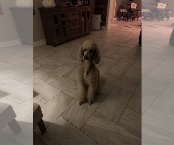 Medium Photo #12 Poodle (Standard) Puppy For Sale in TAMPA, FL, USA