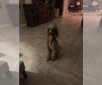 Small Photo #12 Poodle (Standard) Puppy For Sale in TAMPA, FL, USA