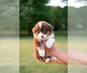 Australian Shepherd Puppy for sale in LA RUE, OH, USA