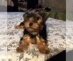Puppy 0 Poodle (Toy)-Yorkshire Terrier Mix