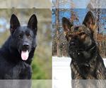 German Shepherd Dog Puppy For Sale in OXFORD, AR, USA