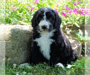 Bernedoodle Puppy for Sale in FREDERICKSBG, Ohio USA