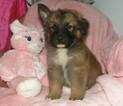 German Shepherd Dog Puppy For Sale in PALATKA, FL, USA