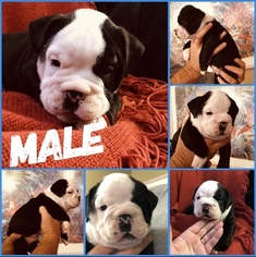 Olde English Bulldogge Puppy For Sale in RANSOM CANYON, TX, USA