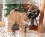Small #3 Shih-Poo