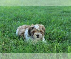 Zuchon Puppy for sale in JOICE, IA, USA