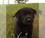 Puppy 2 Labrador Retriever-Siberian Husky Mix