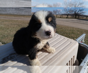 Bernese Mountain Dog Puppy for sale in INDIANAPOLIS, IN, USA