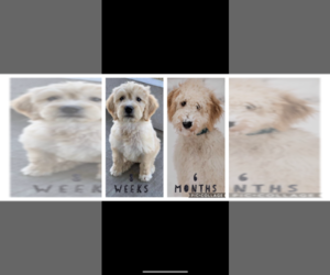 Goldendoodle Puppy for Sale in FREDERICKTOWN, Missouri USA