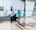 Small #106 Rottweiler