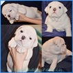 English Bulldogge Puppy For Sale in SAN ANTONIO, TX,