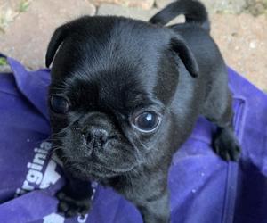 Pug Puppy for sale in WILLIAMSBURG, VA, USA