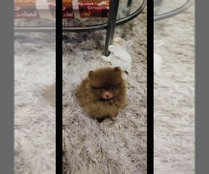 German Spitz Puppy for Sale in KNOTTS ISLAND, North Carolina USA