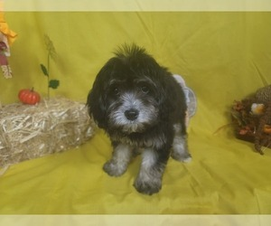Goldendoodle-Poodle (Toy) Mix Puppy for Sale in BLACK FOREST, Colorado USA