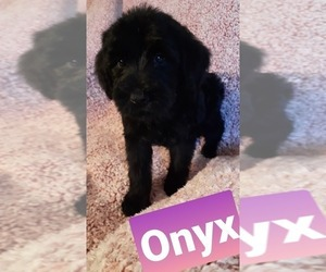 Schnoodle (Giant) Puppy for sale in HENDERSON, NC, USA