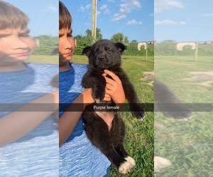 German Shepherd Dog-Siberian Husky Mix Puppy for sale in LEBANON, KY, USA