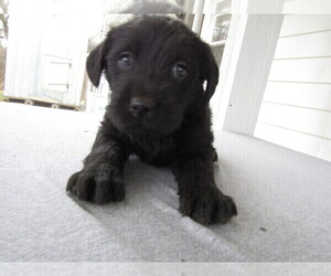 Labradoodle Puppy for sale in COLDWATER, MI, USA