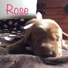 Labrador Retriever Puppy For Sale in APPLETON, WI, USA