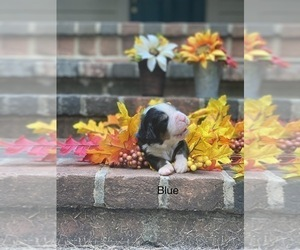 Bernese Mountain Dog Puppy for Sale in GREENVILLE, Ohio USA