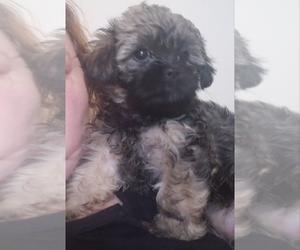 Shih Tzu-Shih-Poo Mix Puppy for Sale in CHARLESTON, South Carolina USA
