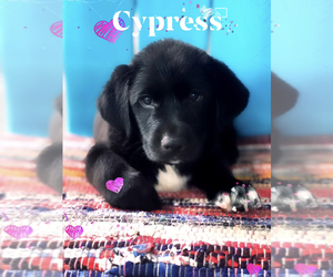 Borador Puppy for sale in SPRINGDALE, AR, USA