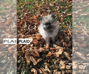 Keeshond Puppy for Sale in MANTENO, Illinois USA