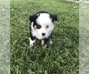 Miniature Australian Shepherd Puppy for sale in INDIANAPOLIS, IN, USA