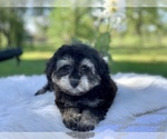 Small #2 Havanese-Poodle (Toy) Mix