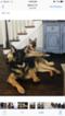 German Shepherd Dog Puppy For Sale near 46528, Goshen, IN, USA