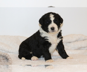 Bernedoodle Puppy for Sale in NORTH ENGLISH, Iowa USA