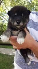 Alaskan Malamute Puppy For Sale in SAINT JOSEPH, MO, USA