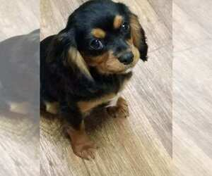 Cavalier King Charles Spaniel Puppy for sale in COOKEVILLE, TN, USA