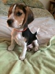 Male AKC Beagle Puppy for sale