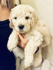 English Cream Golden Retriever-Poodle (Standard) Mix Puppy For Sale in SACRAMENTO, CA, USA