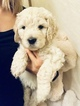English Cream Golden Retriever-Poodle (Standard) Mix Puppy For Sale in SACRAMENTO, CA, USA