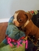 Boston Terrier Puppy For Sale in STOCKTON, MO, USA