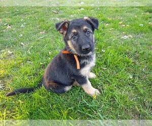 German Shepherd Dog Puppy for Sale in OAK GROVE, Oregon USA
