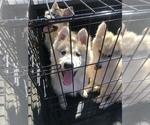 Small Photo #26 Wolf Hybrid Puppy For Sale in FILLMORE, LA, USA