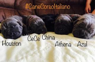Cane Corso Puppy For Sale in INGLESIDE, TX, USA